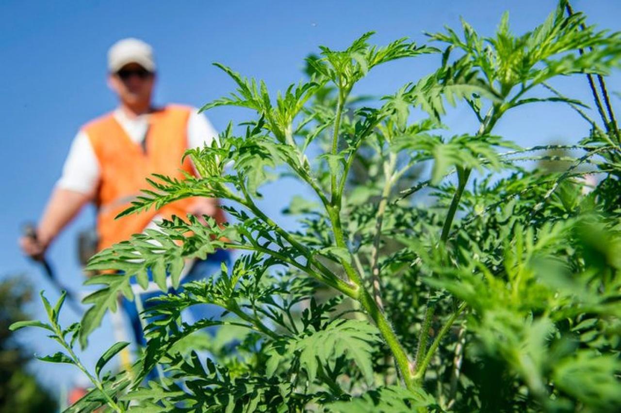 Jelentős parlagfűpollen-terhelés várható – A gyérítés a földtulajdonosok feladata