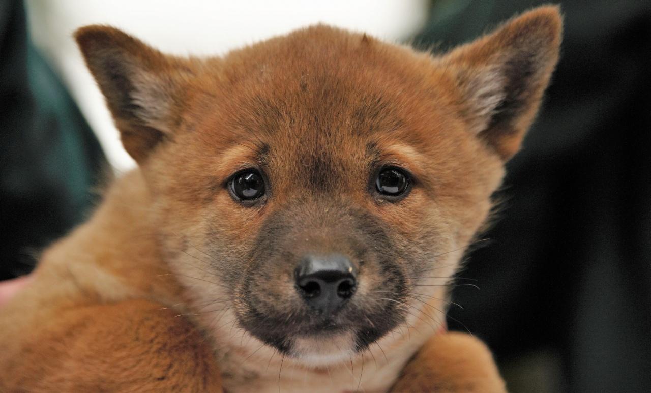 Egy éve született a Nyíregyházi Állatpark kedvence, a dingó kölyök