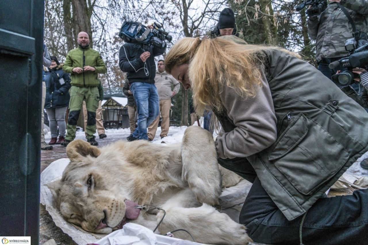 Búcsú a fehér oroszlánoktól - Izraelbe mennek
