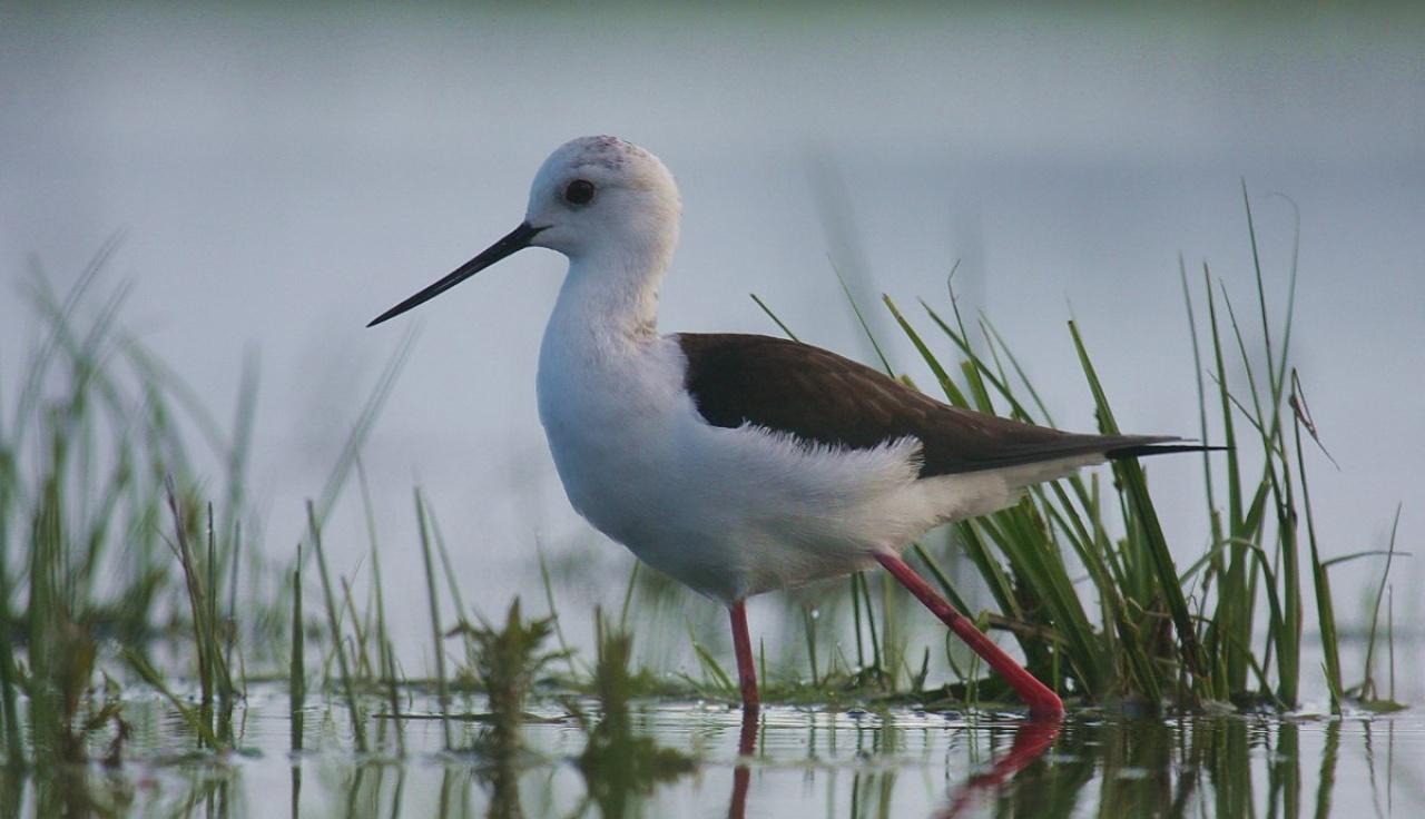 Divatban az év madara, a gólyatöcs – Fekete-fehér mindörökké