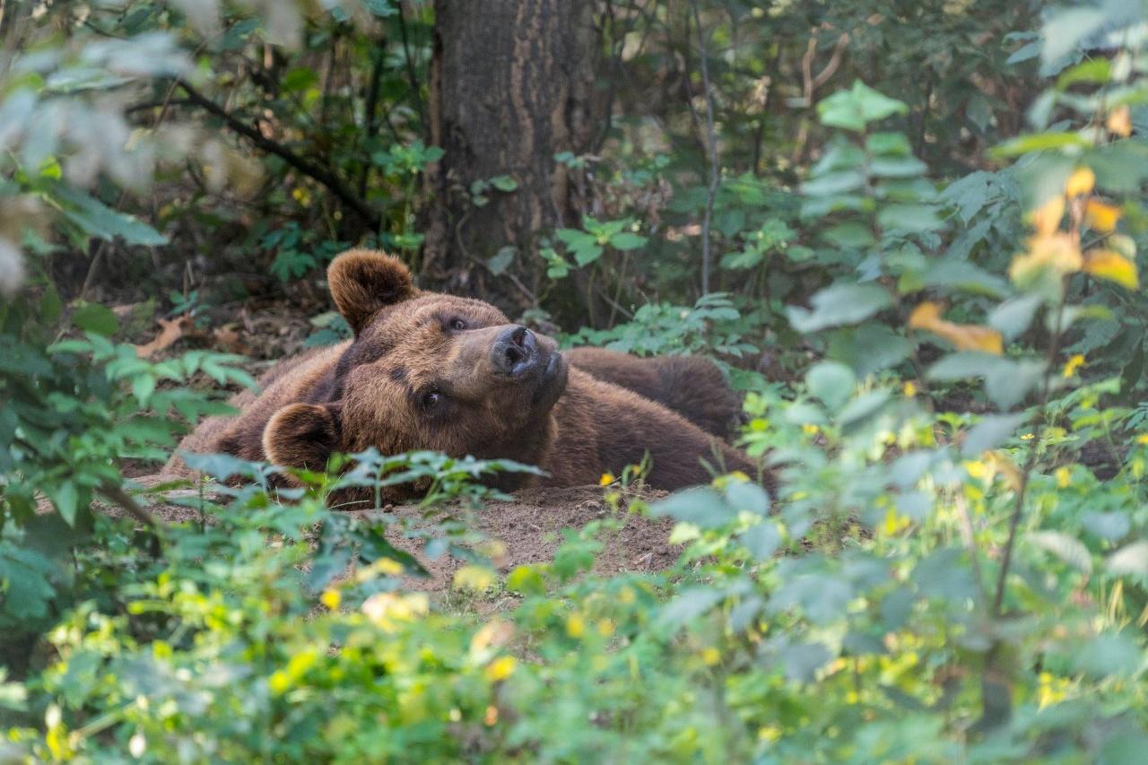 Lássuk a medvét! – A hagyomány szerint ma ér véget a téli álom, de nem Nyíregyházán