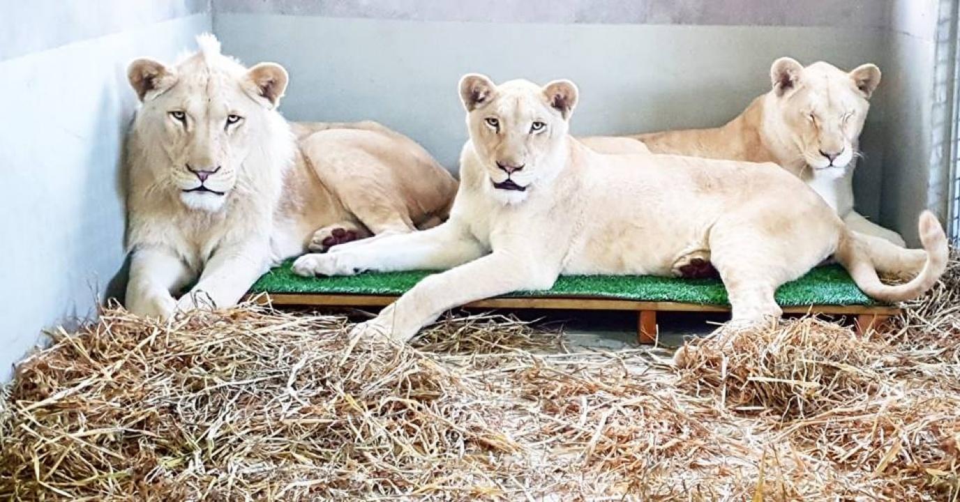 Állati üdvözlet Izraelből – Megérkeztek új helyükre a Nyíregyházi Állatpark oroszlánjai