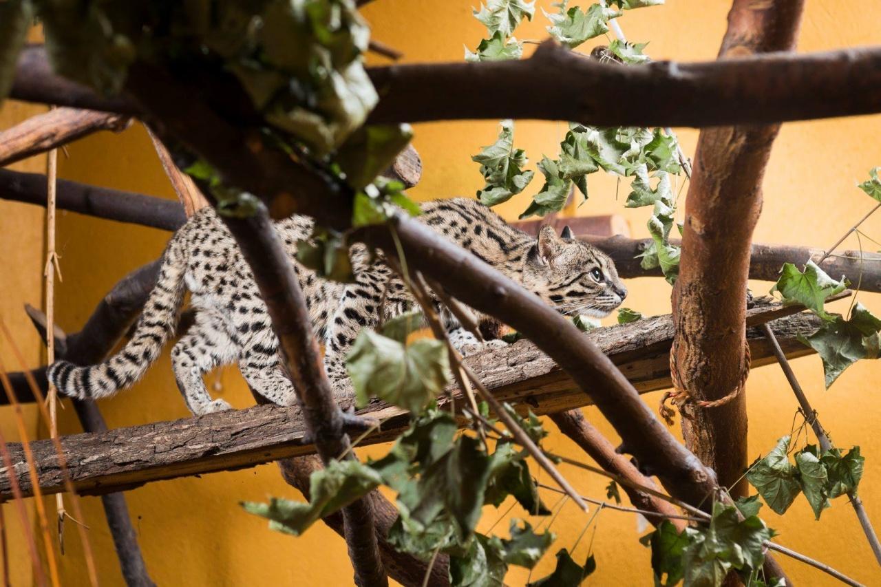 A szomszéd macskája vagy veszélyes ragadozó? Ismerje meg a ritka Geoffroy-macskát!