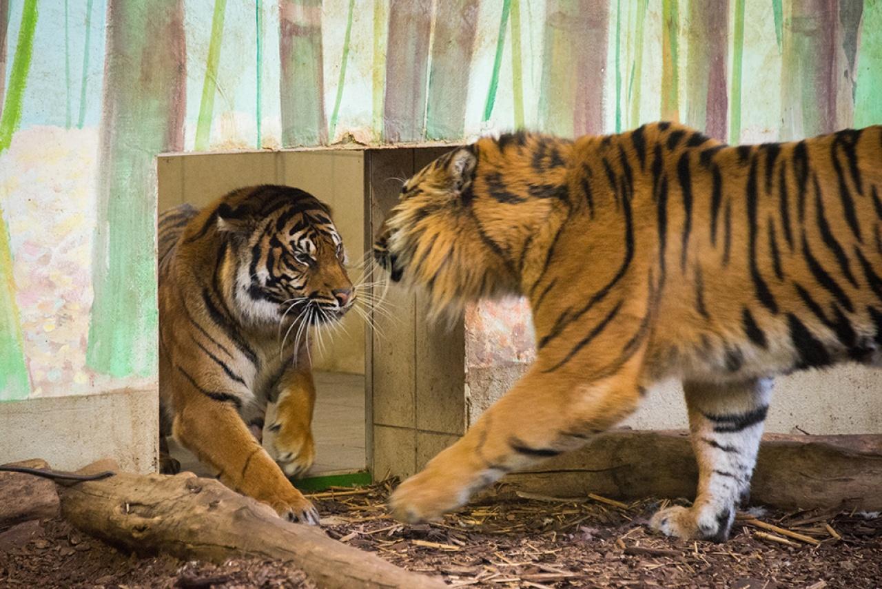 Feleséget cserélt Gio, az ország egyetlen szumátrai tigris hímje Állatparkunkban