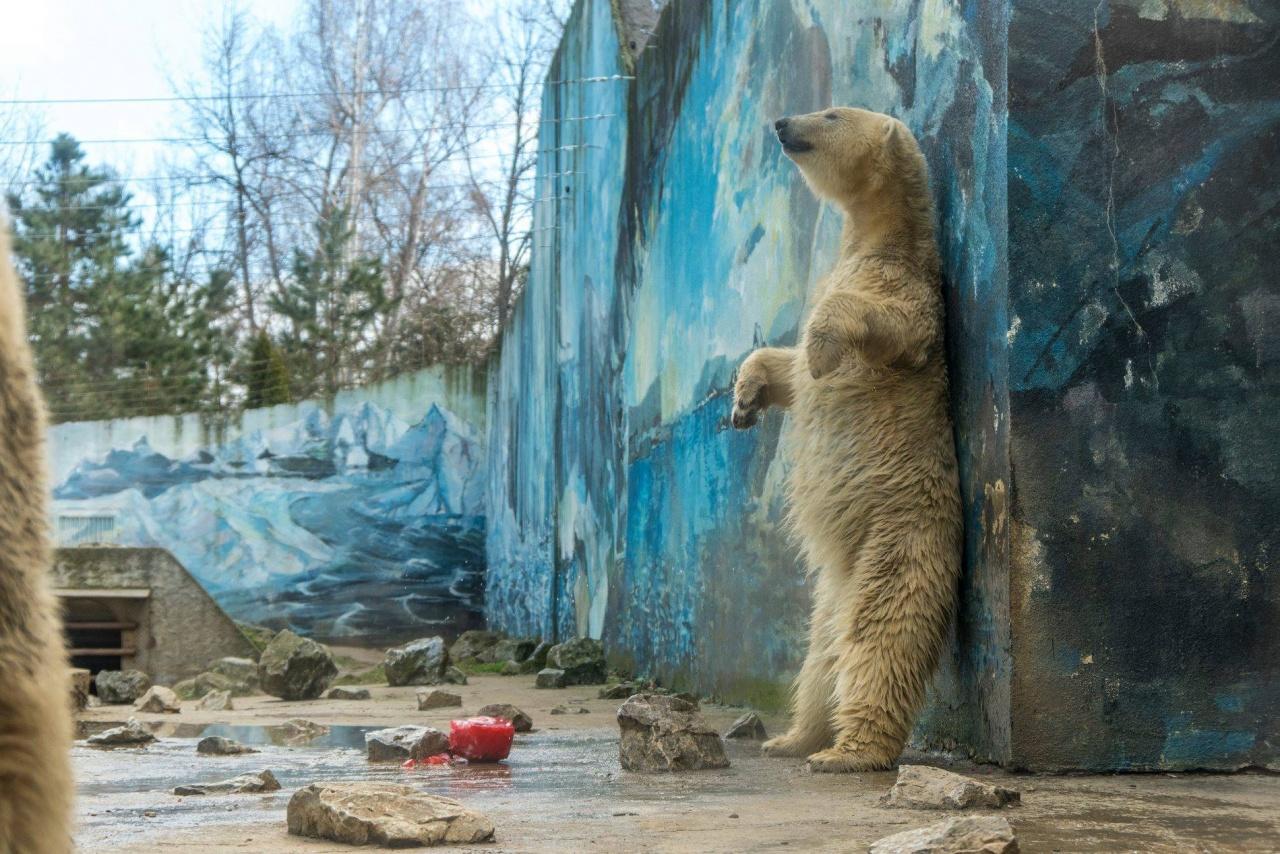 Február 27-e a Jegesmedvék Nemzetközi Világnapja – A Nyíregyházi Állatpark is ünnepelt!