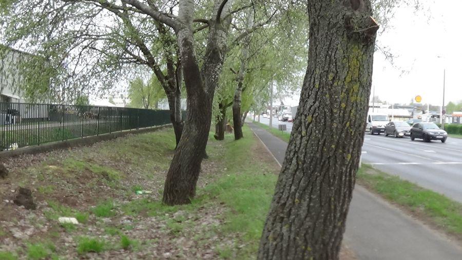 Balesetveszélyes fákat vágnak ki