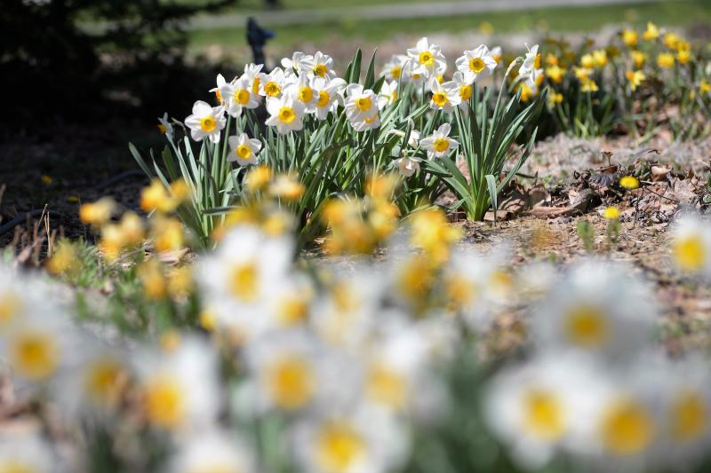 Belvárosunk tavaszi virágai
