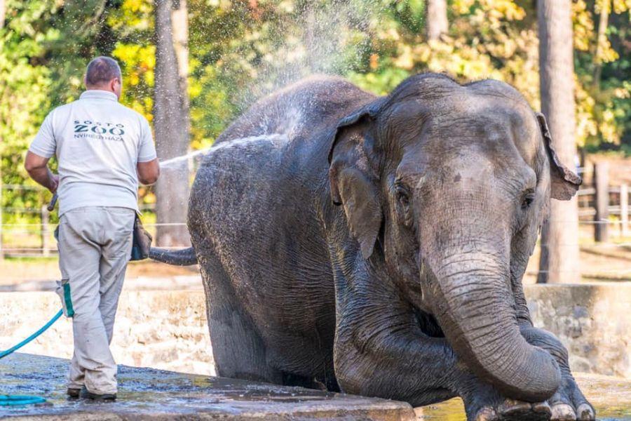 Elefánt wellness (Fotók: Nyíregyházi Állatpark)