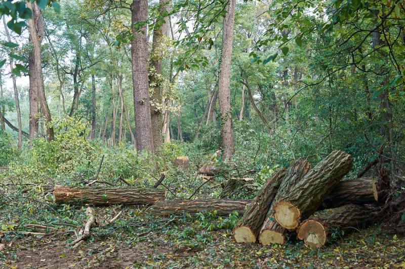 Fakitermelés a sóstói erdőben 20211013