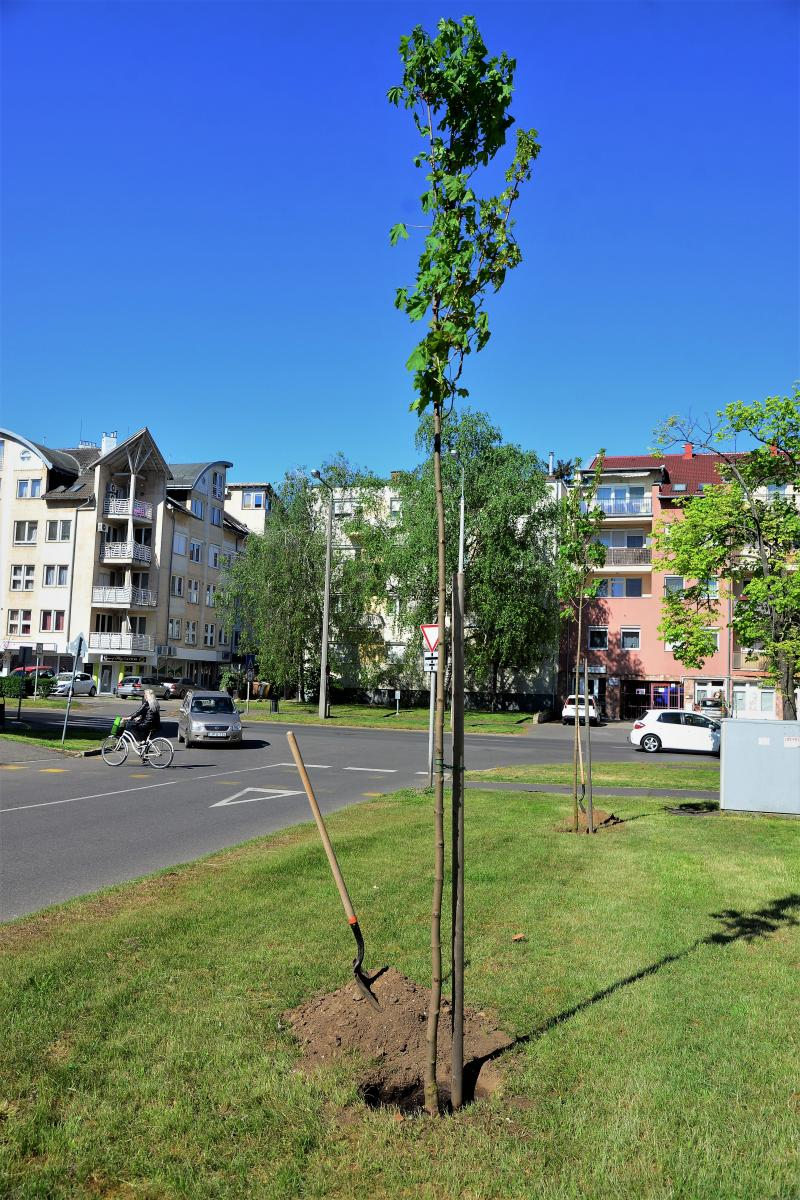 Faültetés a Kossuth utca-Sarkantyú utca sarkán
