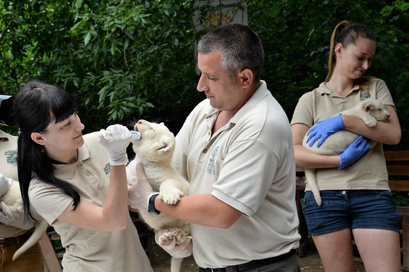 Fehéroroszlánok születtek a  Nyíregyházi Állatparkban
