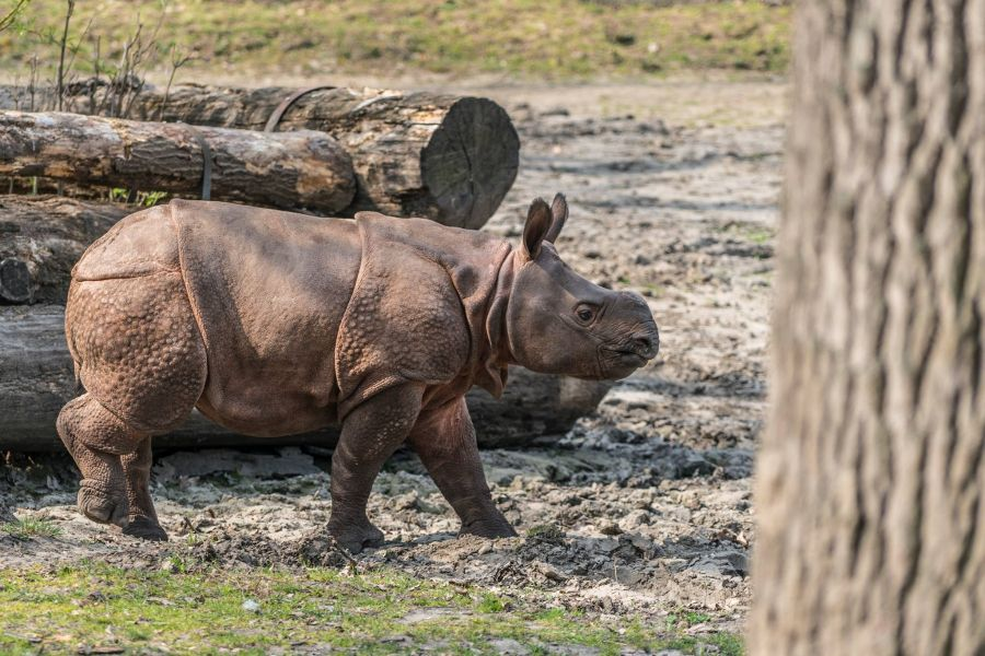 Így telnek az indiai páncélos rinocérosz bébi mindennapjai