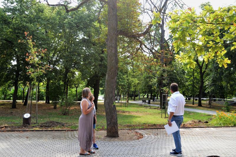 Kivágják a veszélyes fákat Sóstón