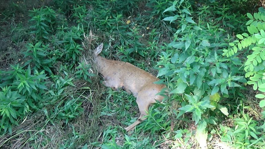 Őzet gázoltak Nyírjestanyánál – A vad túlélte az esetet