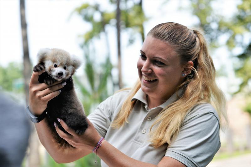 Vörös panda született Nyíregyházán