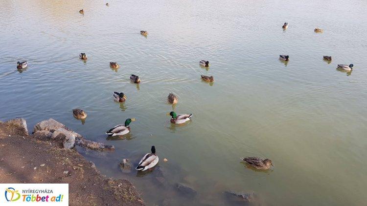 Boldogan fürdőznek a kacsák a Sóstói tavon - Ébredezik a természet