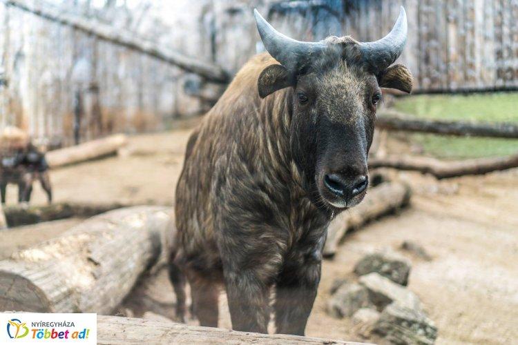 Újabb szenzáció a Nyíregyházi Állatparkban – A takinbébik köszönik jól vannak!