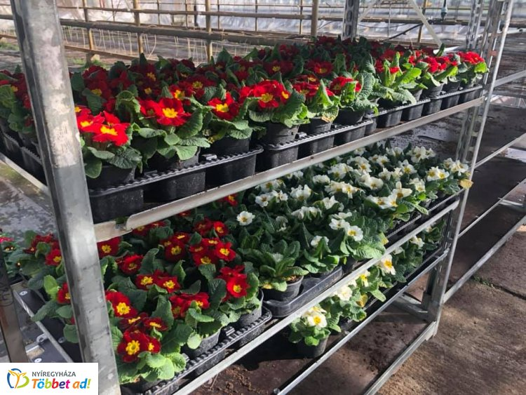 Virágültetés a nemzeti ünnep alkalmából – A NYÍRVV munkatársai már választottak virágot!