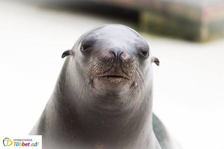 Adj nevet a Nyíregyházi Állatpark kis fókájának – Ő lesz a fókashow új sztárja!