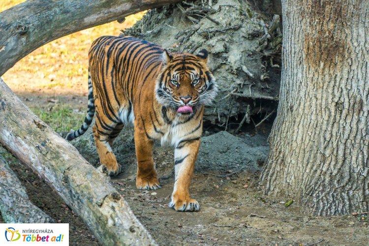 A Nyíregyházi Állatpark tigriseiről forgatott a Discovery stábja!