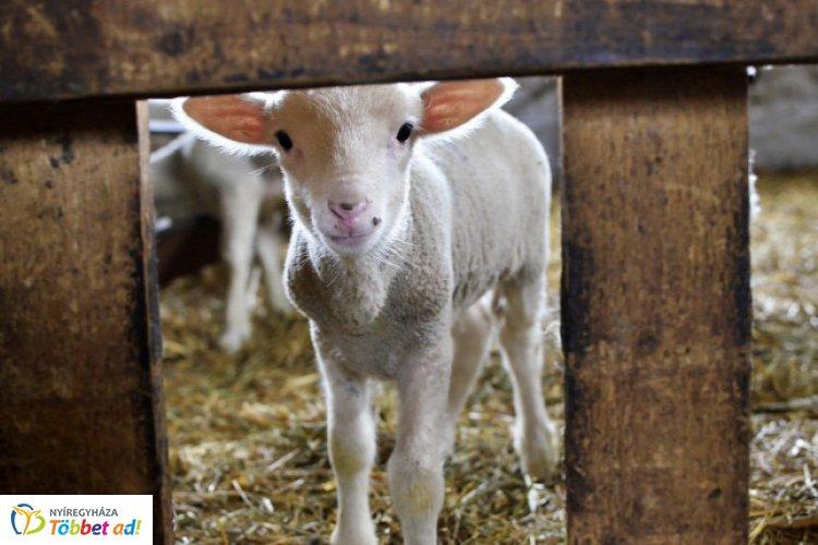 Nyolc méter mély kútba esett bárányt mentettek a kisvárdai tűzoltók!