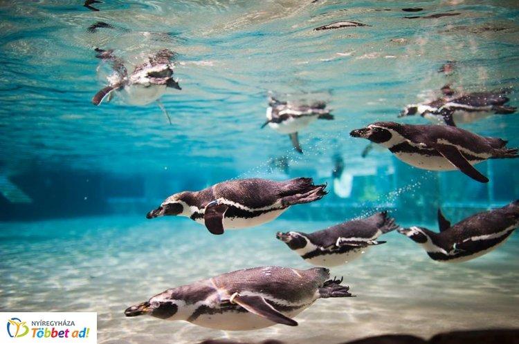Ma van a Pingvinek Világnapja – A Nyíregyházi Állatpark fotóitól mi is elolvadtunk!