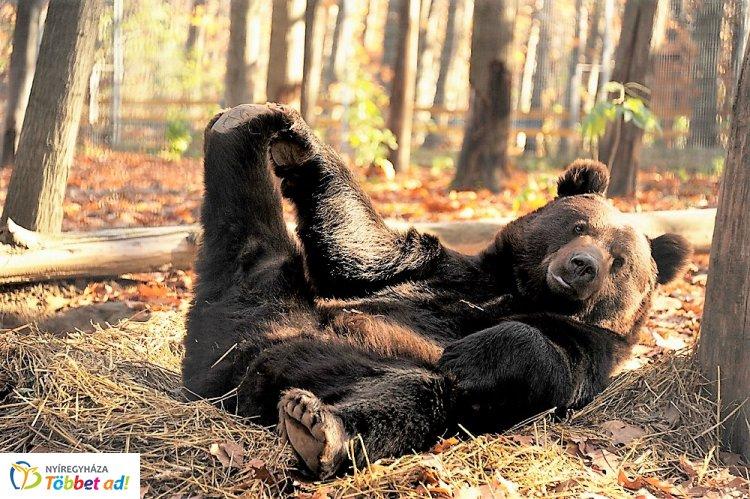 Nemzetközi Medve Nap - Happy Bears Day a Nyíregyházi Állatparkban