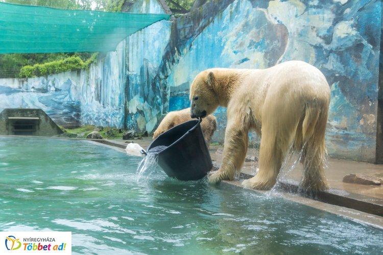 A jegesmedvék haltortából is lakomázhattak a Nyíregyházi Állatparkban – Videóval!