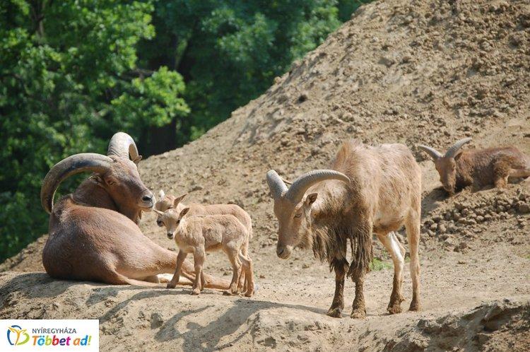 Állati hírek! – Nyolc újabb gida erősíti a Nyíregyházi Állatpark sörényes juh csapatát