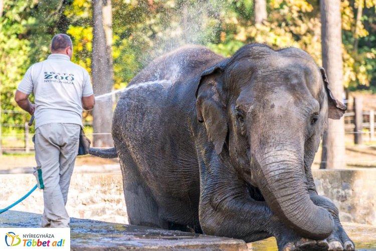 A Nyíregyházi Állatpark elefántjainak nem csak hétvégén jár a wellness!