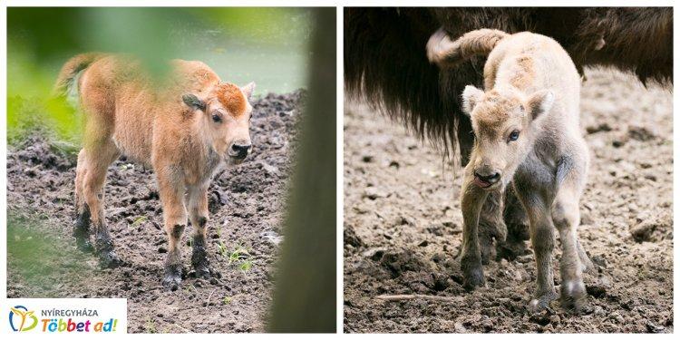 Egyedülálló az országban! – Bölényborjak születtek a Nyíregyházi Állatparkban