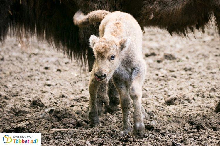 Nagy az öröm a Nyíregyházi Állatparkban - Két bölénybébi született egy héten belül