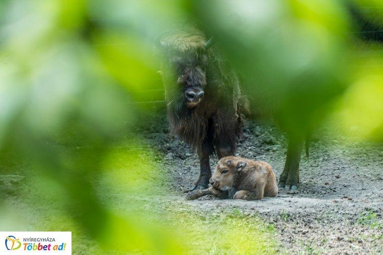 Videó! – Ha kíváncsi a Nyíregyházi Állatpark kis bölényének első lépéseire, kattintson!