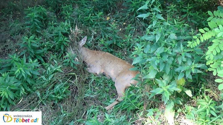 """Őzet gázoltak Nyírjestanyánál – A vad túlélte az esetet, lábsérüléssel """"megúszta"""""""