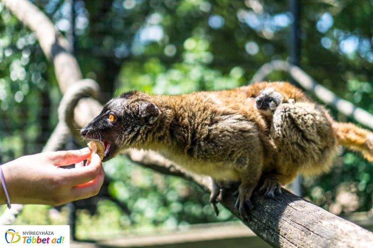 Ön tudja, milyen hangot ad egy Mayotte maki? A Nyíregyházi Állatpark videójából kiderül!