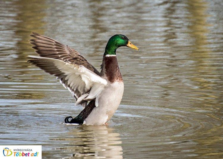 Egy évvel ezelőtt több madár is elpusztult a Bujtosi tónál. Ne etessék a vízimadarakat!