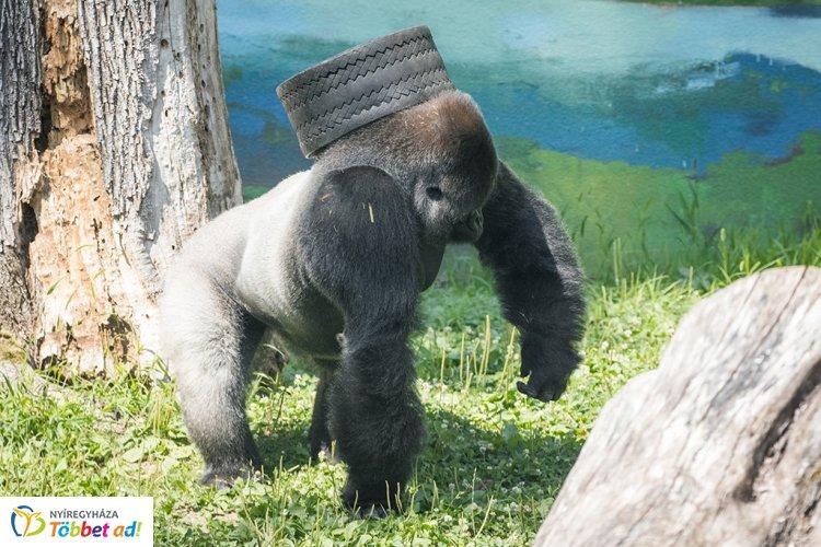 Bubu kedvence a gumiabroncs – Újabb játékkal gazdagodott a Nyíregyházi Állatpark gorillája