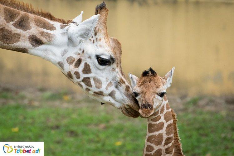Még a gondozókat is meglepte méreteivel a nyíregyházi kis zsiráf – Videóval!