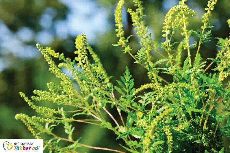 Allergiaszezon – Erre számíthatunk idén a megyei tisztifőorvos szerint