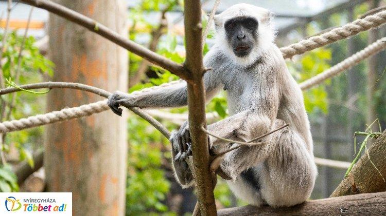 Szent majmok frigye – Feleség érkezett a Nyíregyházi Állatpark hulmánjához