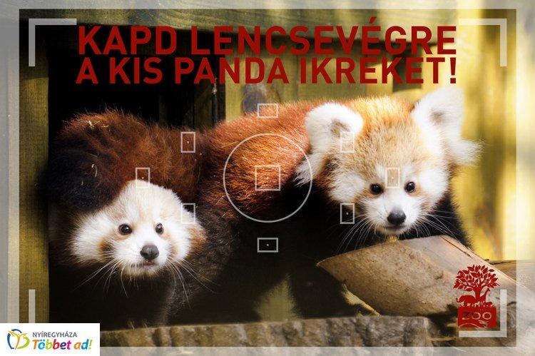 Kis panda fotózásra fel! – Irány a Nyíregyházi Állatpark, 14 hetesek lettek az ikrek!