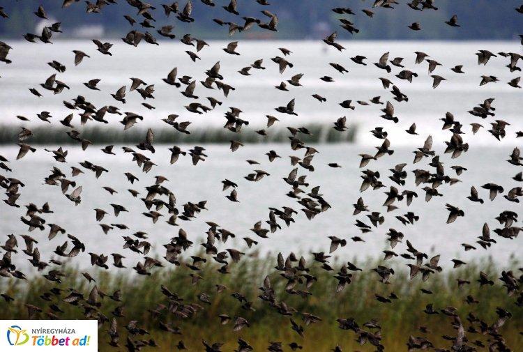 Veszélyes vándorlás – Folytatódott a madarak védelmét szolgáló nemzetközi kampány