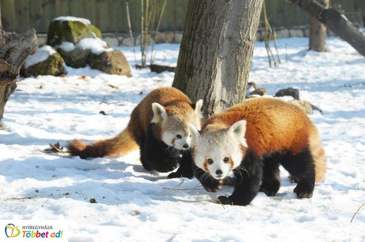 Imádják a havat a Nyíregyházi Állatpark kispandái – A nap videója!