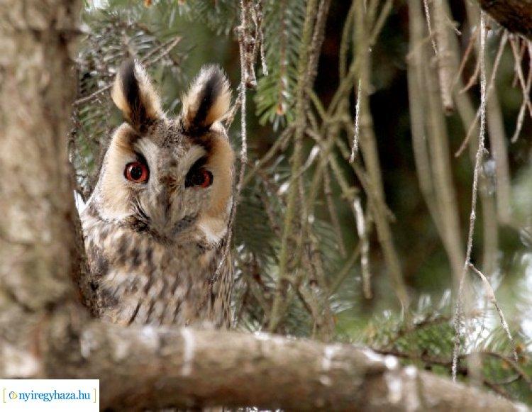 Az erdei fülesbagoly lett idén az év madara – Nyíregyházán is több helyszínen feltűnnek!