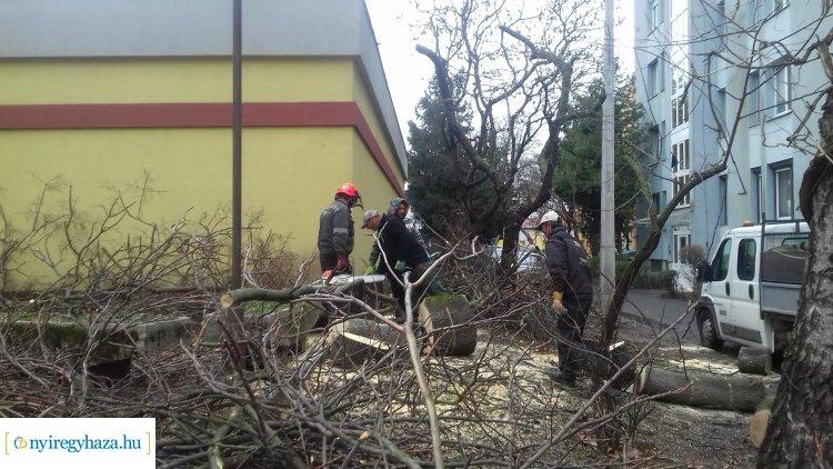 Favágási munkálatokat végeztek hétfőn a NYÍRVV munkatársai a Szarvas utcán