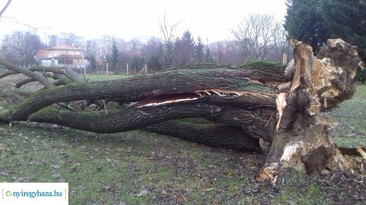 Hatalmas fa dőlt ki a Bujtosi Városligetben, egy kutyafuttató értesítette a városgondnokot