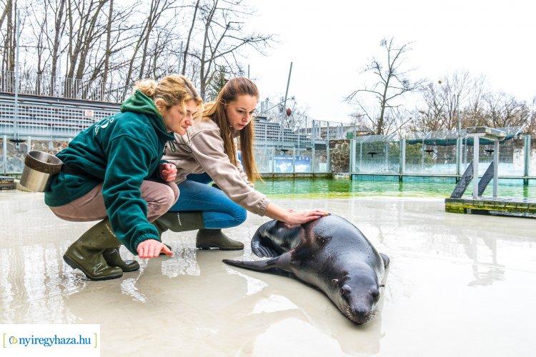 Így vizsgálják a Nyíregyházi Állatpark oroszlánfókáit – Videón a legjobb pillanatok!