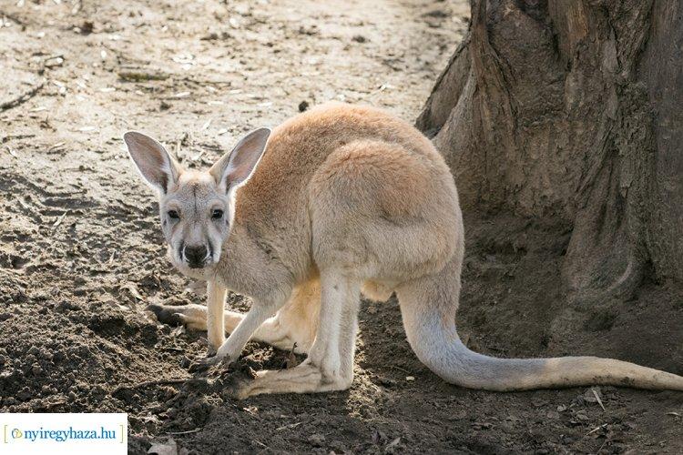 Zsebibabák minden mennyiségben – Már láthatók a Nyíregyházi Állatpark kenguru bébijei!