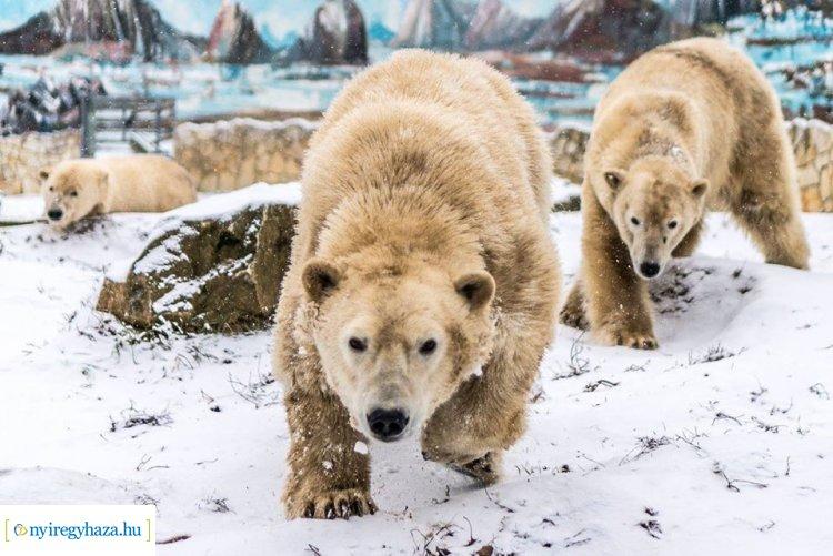 Ma van a Jegesmedvék Világnapja – Érdekességekkel teli videóval ünnepel az állatpark!