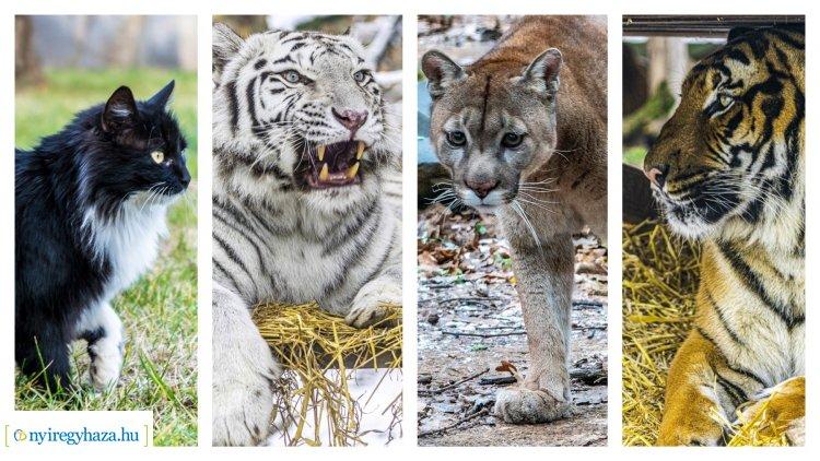 Macskafélék a Nyíregyházi Állatparkban – Ön tudja hány fajtával találkozhat?